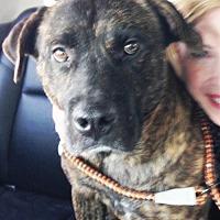 Adopt A Pet :: Boscoe - Dallas, TX