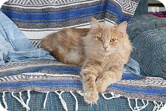 Domestic Longhair Cat for adoption in Lindsay, Ontario - Kevin