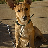 Adopt A Pet :: Puppy Batman - Norman, OK