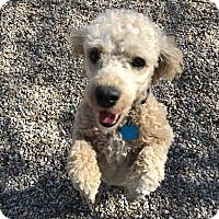 Adopt A Pet :: Bobby - Middlebury, CT