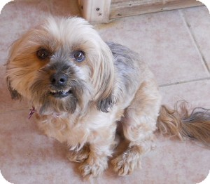 Lhasa Apso/Poodle (Miniature) Mix Dog for adoption in dewey, Arizona - Mopsie