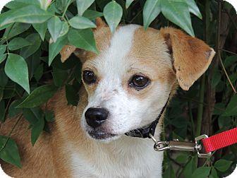 Chihuahua Mix Dog for adoption in Houston, Texas - Junebug
