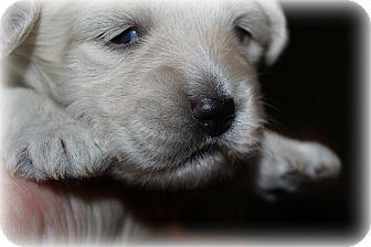 Bichon Frise Puppy for adoption in Sinking Spring, Pennsylvania - Aspen