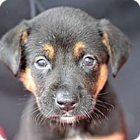 Adopt A Pet :: Clark Gable - Plano, TX