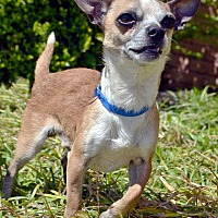 Adopt A Pet :: Chalupa - Bridgeton, MO