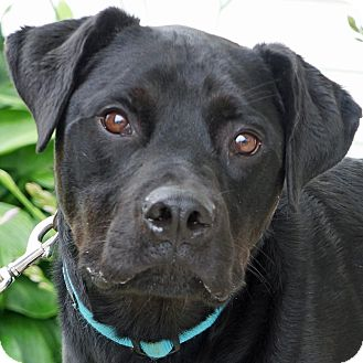 Labrador Retriever/Rottweiler Mix Dog for adoption in Sprakers, New York - Sawyer