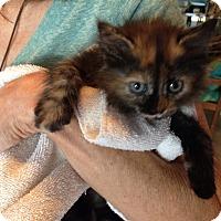 Adopt A Pet :: Darshana - Deerfield Beach, FL