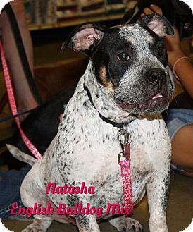 English Bulldog Mix Dog for adoption in Cheney, Kansas - Natasha