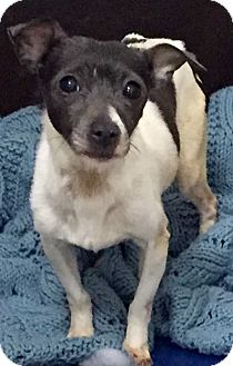 Rat Terrier Dog for adoption in Livonia, Michigan - Stella