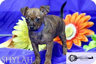 Terrier (Unknown Type, Medium) Mix Puppy for adoption in DeForest, Wisconsin - Shylah