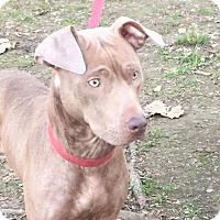 Adopt A Pet :: Lady - Washington, DC