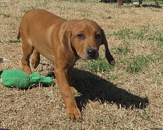 Beagle/Mastiff Mix Puppy for adoption in Norman, Oklahoma - Shaft
