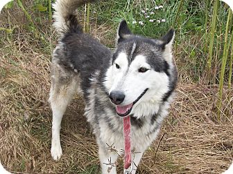 Alaskan Malamute/Husky Mix Dog for adoption in Augusta County, Virginia - Olli