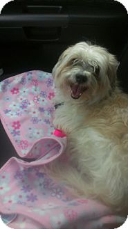 Lhasa Apso/Shih Tzu Mix Dog for adoption in bridgeport, Connecticut - Bear