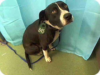Labrador Retriever Mix Dog for adoption in San Diego, California - Obie URGENT