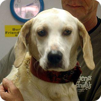 Basset Hound/Labrador Retriever Mix Dog for adoption in Greencastle, North Carolina - Star