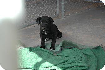 Labrador Retriever/Border Collie Mix Puppy for adoption in San Antonio, Texas - Murphy