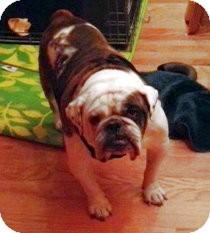 Bulldog Dog for adoption in Chicago, Illinois - Bongo