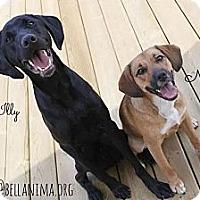 Adopt A Pet :: Naya - Montreal, QC