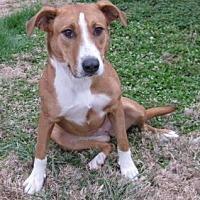 Hound (Unknown Type)/Foxhound Mix Dog for adoption in Huntsville, Alabama - Lucy