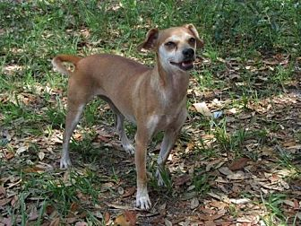 Chihuahua Mix Dog for adoption in Oviedo, Florida - Cici