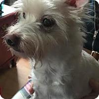 Adopt A Pet :: Scrappy - Acushnet, MA