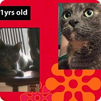 Domestic Shorthair Cat for adoption in Madison, Alabama - Lily*