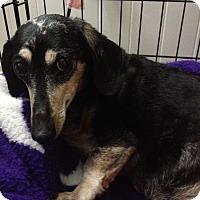 Adopt A Pet :: Stewie - Louisville, CO