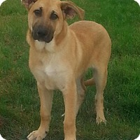 Shepherd (Unknown Type) Mix Puppy for adoption in Cleveland, Texas - Buster