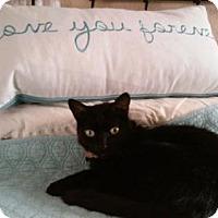 Domestic Shorthair Cat for adoption in Walnut Creek, California - Shadow