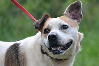 English Bulldog/Cattle Dog Mix Dog for adoption in Jackson, Mississippi - Kadie