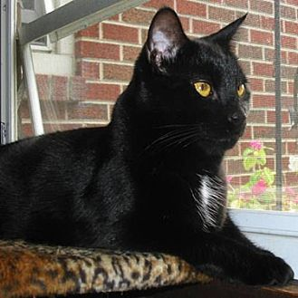 Domestic Shorthair Cat for adoption in Youngsville, North Carolina - Silhouette