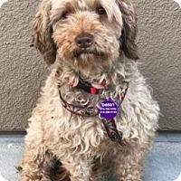 Adopt A Pet :: Cagney D6501 (was D3106 - Fremont, CA