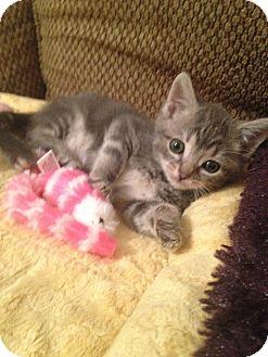 Domestic Mediumhair Kitten for adoption in Island Park, New York - Mia