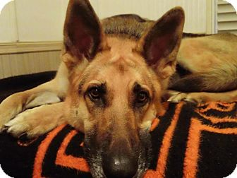 German Shepherd Dog Dog for adoption in Green Cove Springs, Florida - Tyko