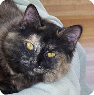 Domestic Shorthair Cat for adoption in Mountain Center, California - Maui