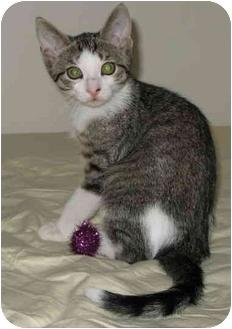 Domestic Shorthair Kitten for adoption in cincinnati, Ohio - Penny's kittens