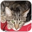 Photo 1 - Domestic Shorthair Cat for adoption in Port Republic, Maryland - CocoPuff
