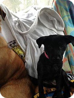 Labrador Retriever Mix Puppy for adoption in Newtown, Connecticut - Jezebel
