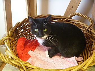 Domestic Shorthair Cat for adoption in MADISON, Ohio - Patti-Cakes
