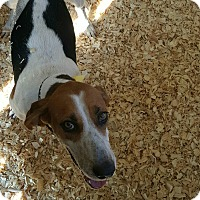 Foxhound Mix Dog for adoption in Livingston Parish, Louisiana - Gracie