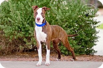 American Staffordshire Terrier Mix Dog for adoption in Fountain Hills, Arizona - SASHA