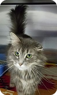 Domestic Longhair Cat for adoption in Elyria, Ohio - Sweetness
