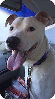 American Pit Bull Terrier Mix Dog for adoption in Wichita, Kansas - Rolland