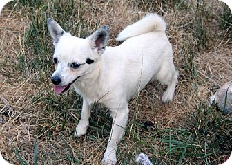 Chihuahua/Jack Russell Terrier Mix Dog for adoption in Westfield, Indiana - Bandit