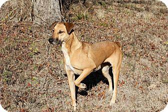 Black Mouth Cur Mix Dog for adoption in Flower Mound, Texas - Junebug