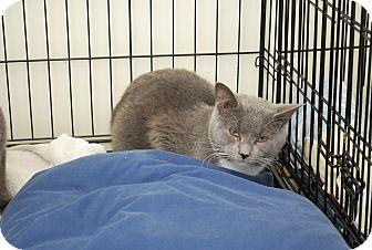 Russian Blue Cat for adoption in Trevose, Pennsylvania - Milo