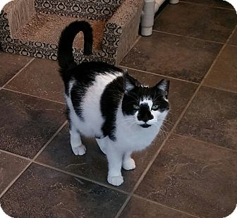 Domestic Shorthair Cat for adoption in River Edge, New Jersey - Alexa Rose