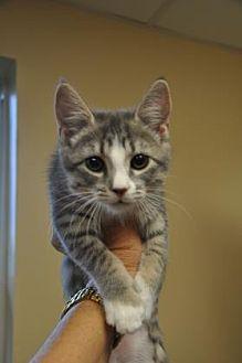 Domestic Mediumhair Kitten for adoption in Pompano Beach, Florida - 6108