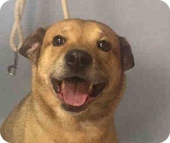 Shepherd (Unknown Type)/Labrador Retriever Mix Dog for adoption in Philadelphia, Pennsylvania - CODY